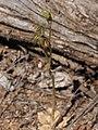 Pterostylis roensis habit.jpg