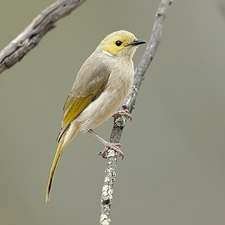 White-plumed honeyeater species of bird