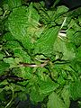Pudina leaves (Mentha arvensis) at Nizampet.jpg