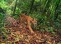 Puma en Bosque de Niebla, Sierra de Manantlan.jpg