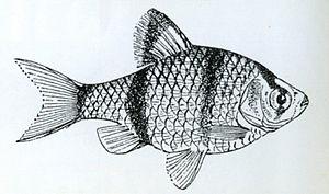 Puntigrus anchisporus - Image: Puntius anchisporus VAILLANT