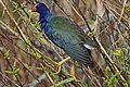 Purple Gallinule - Porphyrio martinica, Everglades National Park, Homestead, Florida - 6484887145.jpg