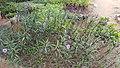 Purple plant 02.jpg