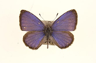 Acytolepis puspa - Male from Malaya