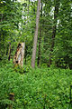 Puszcza białowieska fragmenty rezerwatu ścisłego a9.JPG