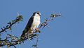 Pygmy falcon, or African pygmy falcon, Polihierax semitorquatus, at Kgalagadi Transfrontier Park, Northern Cape, South Africa. (34128948890).jpg