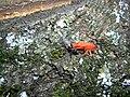 Pyrrhocoris apterus muant.jpg