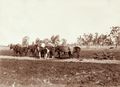 Queensland State Archives 2410 Breaking up new ground with horse drawn plough at Headington Hill Estate 1898.png