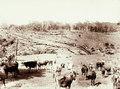 Queensland State Archives 5163 Crohamhurst Dairy Cattle c 1899.png