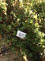 Quercus Lusitanica.jpg