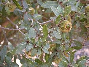 Quercus calliprinos - leaves and acorns
