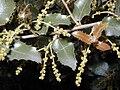 Quercus coccifera HRM.jpg