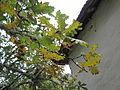 Quercus frainetto Bosilegrad 3.JPG