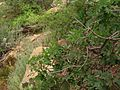 Quercus gambelii with squirrel.jpg