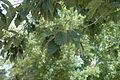 Quercus muehlenbergii (24098733402).jpg