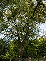 Quercus robur (20150525-DSC05325).jpg