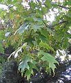 Quercus rubra 1.jpg