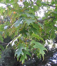 Quercus rubra 1