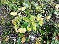 Quercus semecarpifolia 10.jpg