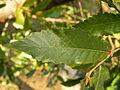 Quercus trojana (15).JPG
