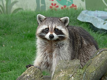 Raccoon Cute Pose.jpg