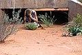 Ragnhild tar kort på Ocimum americanum L. -0783 - Flickr - Ragnhild & Neil Crawford.jpg