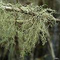 Ramalina dendriscoides - Flickr - pellaea (1).jpg