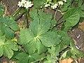 Ranunculus aconitifolius 01.jpg