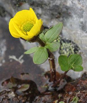 Ranunculus nivalis - Image: Ranunculus nivalis Kilpisjarvi 2012 07