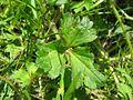 Ranunculus repens blatt.jpeg
