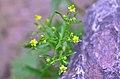Ranunculus sceleratus (8342470740).jpg