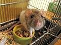 Rattus norvegicus-face-Pet rat in cage.jpg