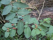 Rauvolfia tetraphylla fruit and foliage.jpg