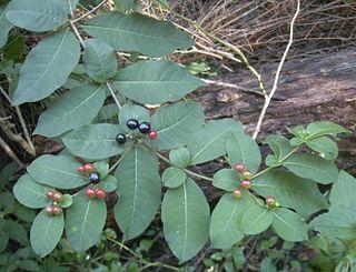 <i>Rauvolfia tetraphylla</i>
