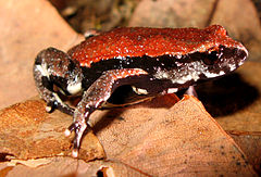 Red-backed Toadlet - Pseudophryne coriacea.jpg