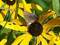 Red-banded hairstreak butterfly on coneflower (6175853559).jpg