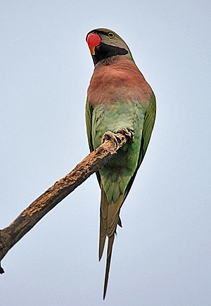 Red-breasted parakeet - Image: Red breasted Parakeet (Psittacula alexandri) in Kolkata Im IMG 3446