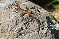 Red-headed Agama (female) - Agama agama, Fairchild Tropical Gardens, Coral Gables, Florida.jpg