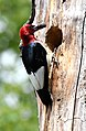 Red-headed woodpecker (28218027627).jpg