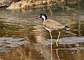 Red-wattled lapwing (Vanellus indicus) 2019 013.jpg