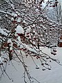 Red Berries in snow.jpg