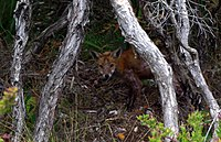 A feral fox in Mornington Peninsula National Park.