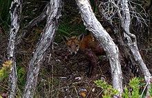 الثعلب الاحمر 220px-Red_Fox_Mornin