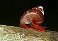 Red Land Snail (Schistoloma anostoma) on the hand rail (15513785265).jpg