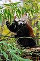 Red Panda (37661785665).jpg