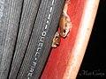 Red Tree Frogs (Litoria rubella) (8239172061).jpg