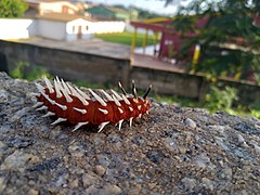 Red caterpillar with white spikes.jpg