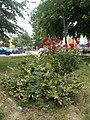 Red roses at Fürst Sándor street, 2018 Oroszlány.jpg