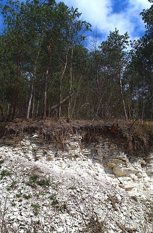 Rendzina - Rendzina soil on the Maastrichtian Chalk in Kozubów Landscape Park, Poland