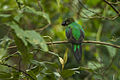 Resplendent Quetzal female carrying food - Cloud Forest in Costa Rica S4E9354 (25882679843).jpg